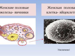 Женские половые железы- яичники Женская половая клетка- яйцеклетка Увеличено!