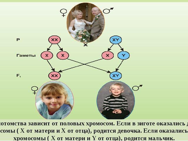 Пол потомства зависит от половых хромосом. Если в зиготе оказались две X-хром...