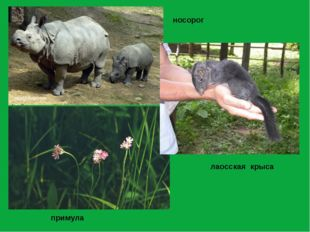 примула носорог лаосская крыса