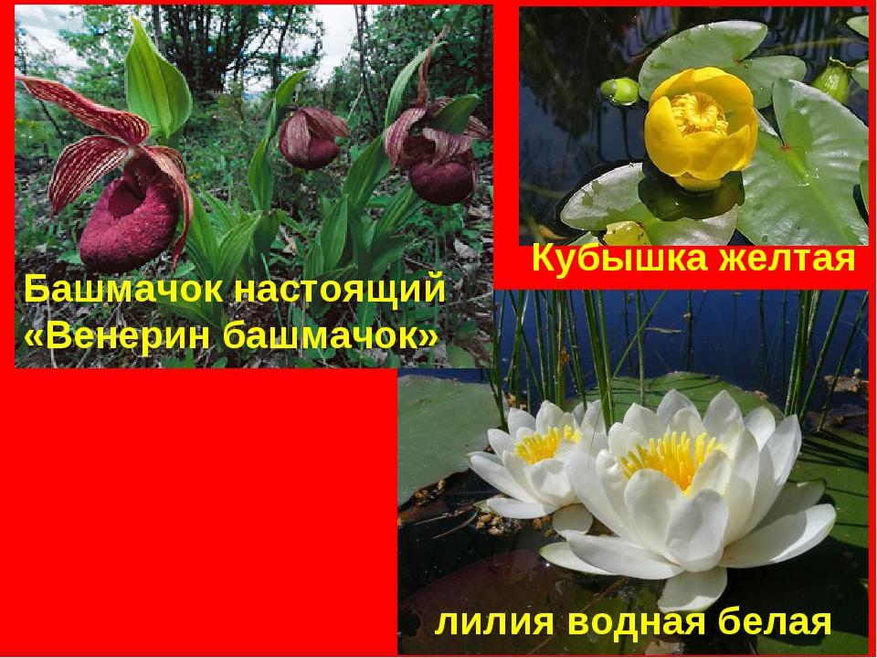 лилия водная белая Башмачок настоящий «Венерин башмачок» Кубышка желтая