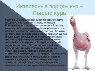 Интересные породы кур – Лысые куры Практичные селекционеры вывели в Израиле н