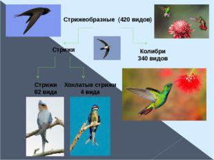 Стрижеобразные (420 видов) Стрижи Колибри 340 видов Стрижи 82 вида Хохлатые с