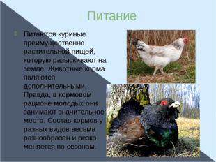 Питание Питаются куриные преимущественно растительной пищей, которую разыскив