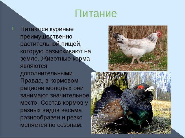 Питание Питаются куриные преимущественно растительной пищей, которую разыскив...