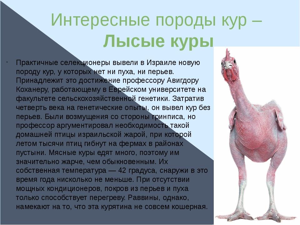 Интересные породы кур – Лысые куры Практичные селекционеры вывели в Израиле н...