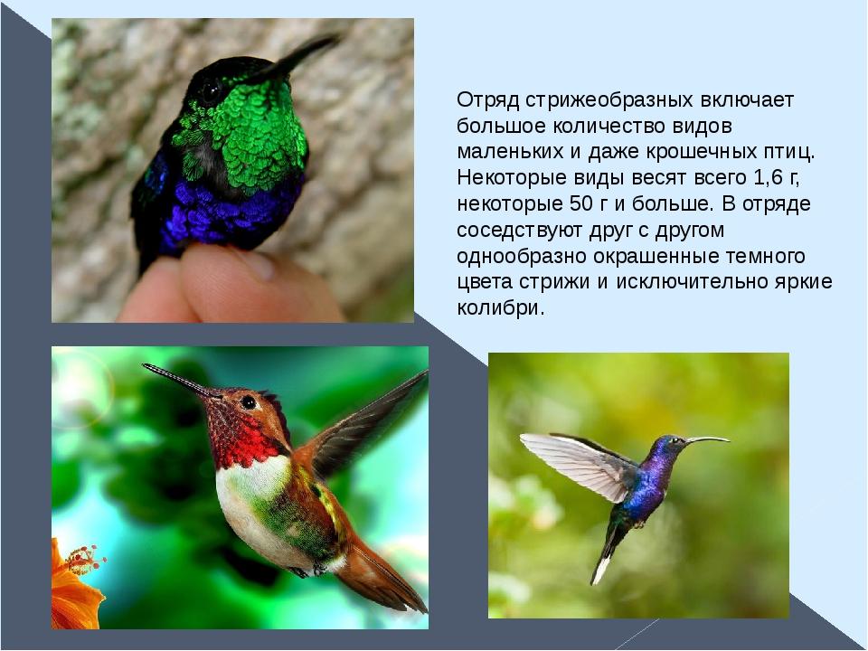 Отряд стрижеобразных включает большое количество видов маленьких и даже кроше...