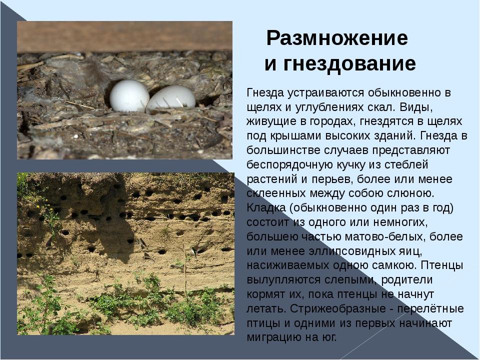 Гнезда устраиваются обыкновенно в щелях и углублениях скал. Виды, живущие в г...