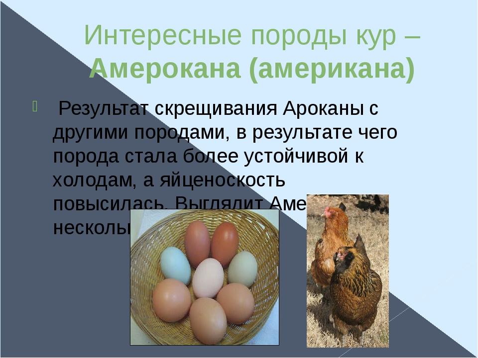 Интересные породы кур – Амерокана (американа) Результат скрещивания Ароканы с...
