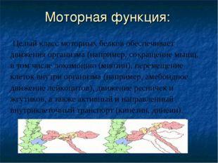 Моторная функция: Целый класс моторных белков обеспечивает движения организма