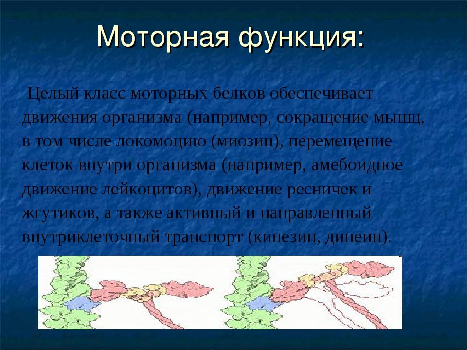 Моторная функция: Целый класс моторных белков обеспечивает движения организма...