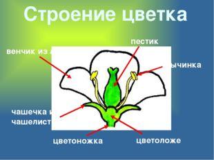 Строение цветка цветоножка цветоложе чашечка из чашелистиков венчик из лепест