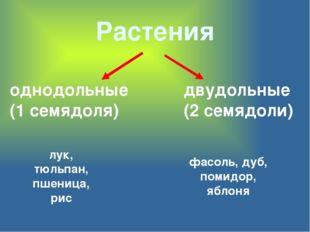 Растения однодольные (1 семядоля) двудольные (2 семядоли) лук, тюльпан, пшени