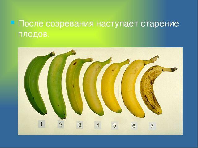 После созревания наступает старение плодов.