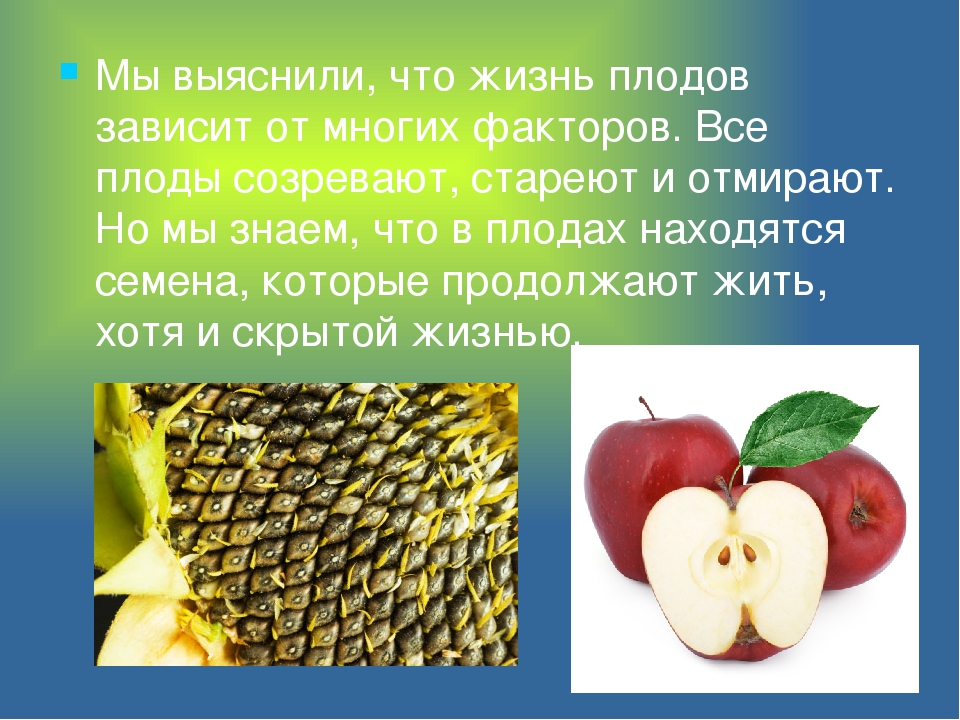Мы выяснили, что жизнь плодов зависит от многих факторов. Все плоды созревают...