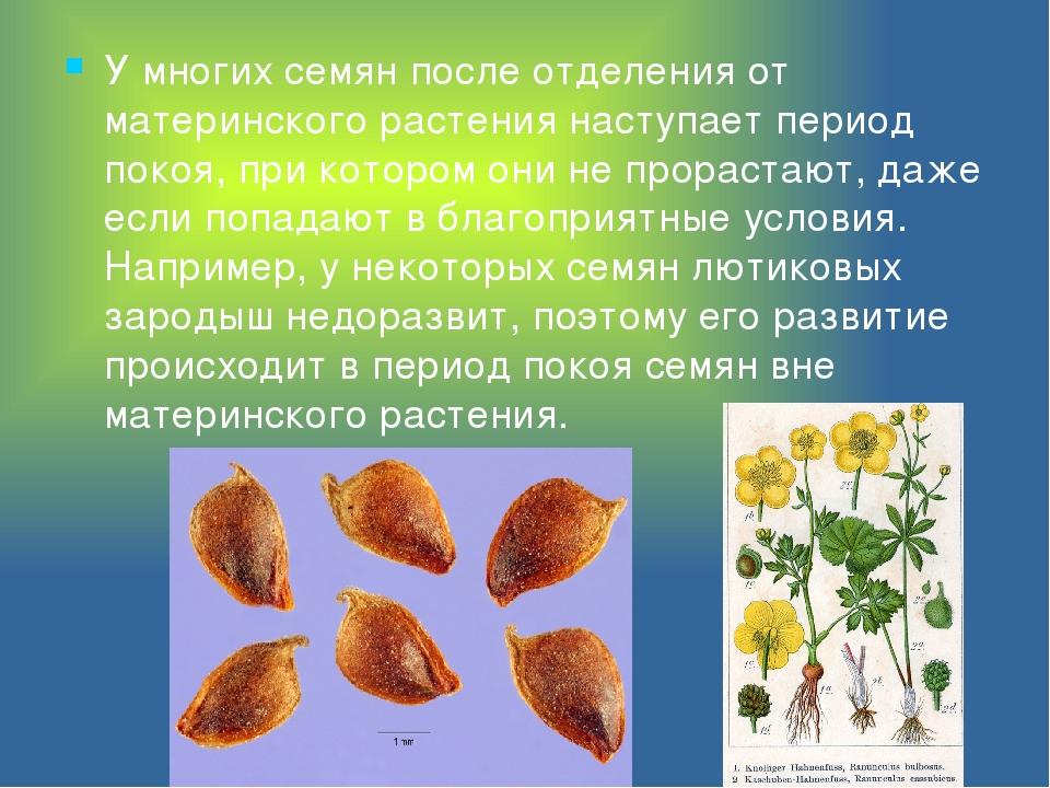 У многих семян после отделения от материнского растения наступает период поко...