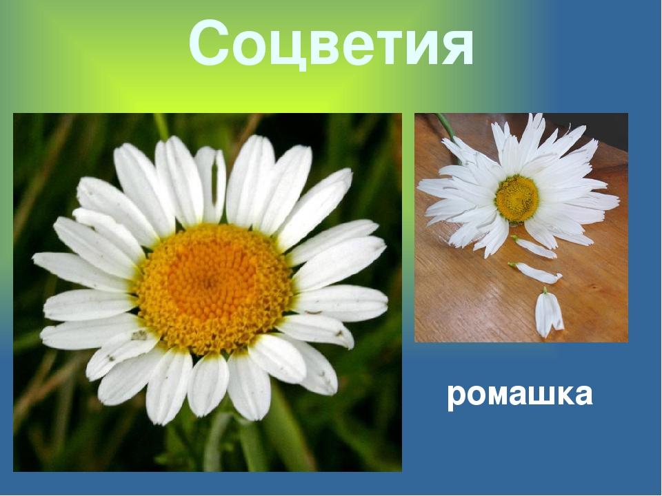 Соцветия ромашка