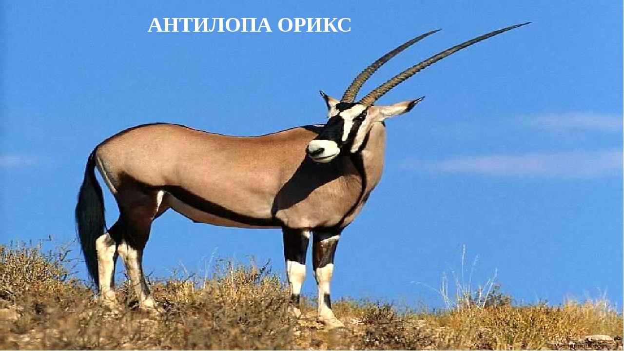 АНТИЛОПА ОРИКС