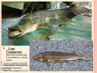 Вид крайне малочислен. В водах Приморья известны редкие поимки. Сахалинский
