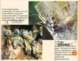 Пчела восковая Усач небесный В настоящее время сохранилось не более 40—60 пче