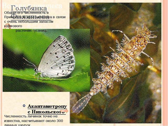 Численность личинок точно не известна, насчитывают около 300 линных шкурок. Г...