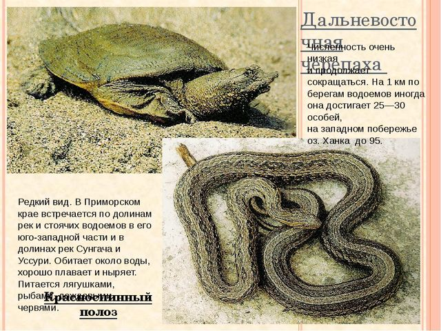 Дальневосточная черепаха Красноспинный полоз Численность очень низкая и продо...