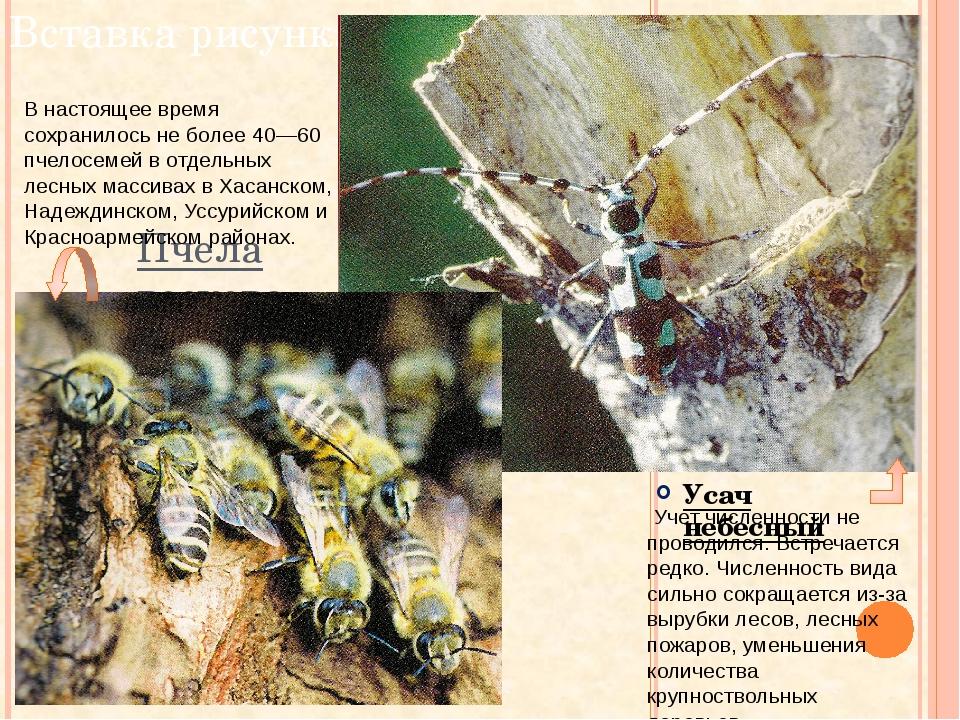 Пчела восковая Усач небесный В настоящее время сохранилось не более 40—60 пче...