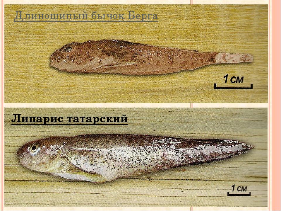 Длиношипый бычок Берга Липарис татарский
