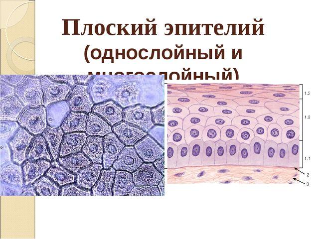 Плоский эпителий (однослойный и многослойный)