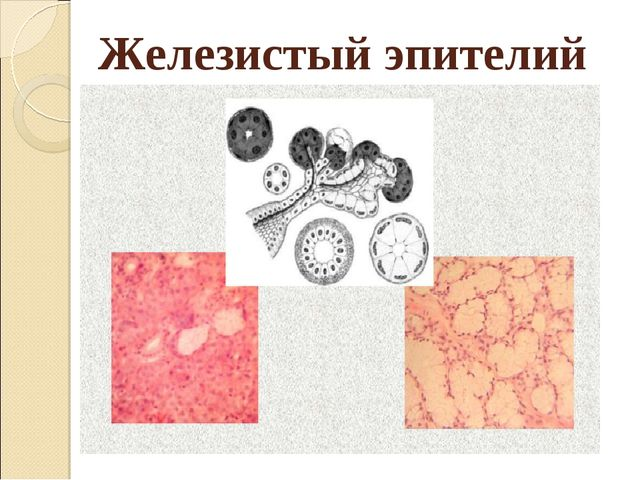 Железистый эпителий