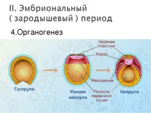 4.Органогенез