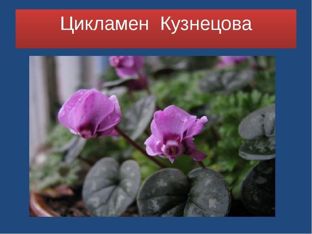 Цикламен Кузнецова