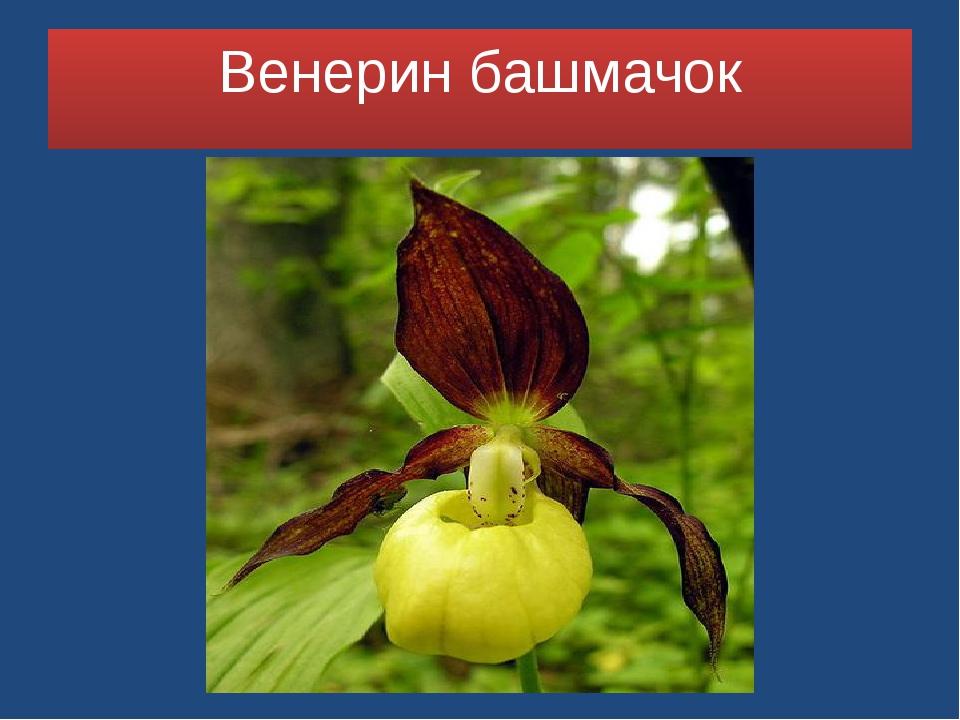 Венерин башмачок Зозу
