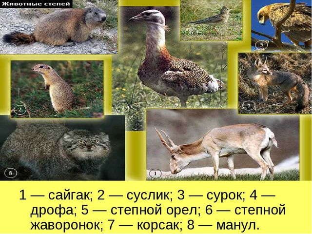1 — сайгак; 2 — суслик; 3 — сурок; 4 — дрофа; 5 — степной орел; 6 — степной ж...