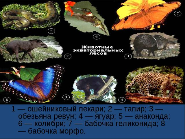 1 — ошейниковый пекари; 2 — тапир; 3 — обезьяна ревун; 4 — ягуар; 5 — анаконд...