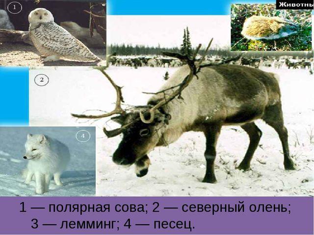 1 — полярная сова; 2 — северный олень; 3 — лемминг; 4 — песец.