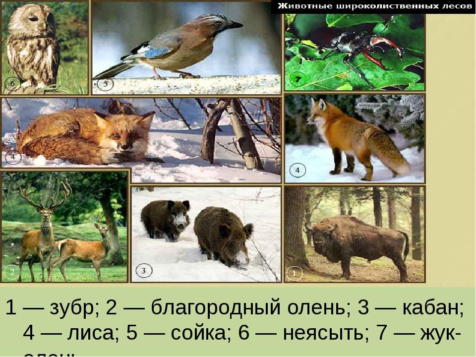 1 — зубр; 2 — благородный олень; 3 — кабан; 4 — лиса; 5 — сойка; 6 — неясыть;...