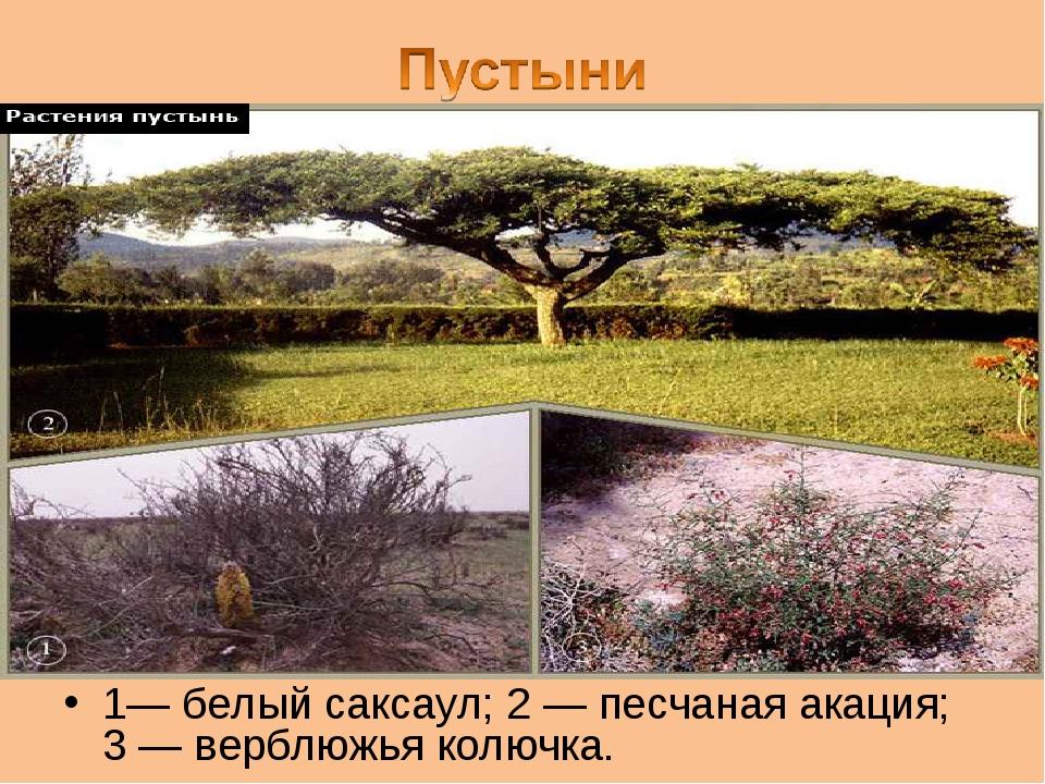 1— белый саксаул; 2 — песчаная акация; 3 — верблюжья колючка.