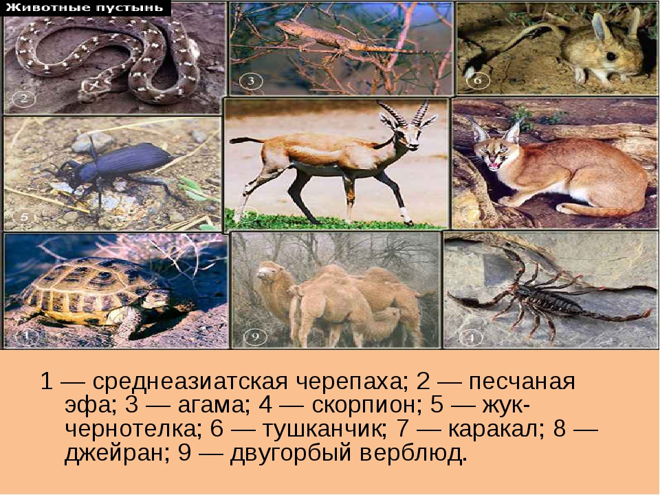 1 — среднеазиатская черепаха; 2 — песчаная эфа; 3 — агама; 4 — скорпион; 5 —...