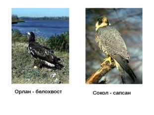 Орлан - белохвост Сокол - сапсан