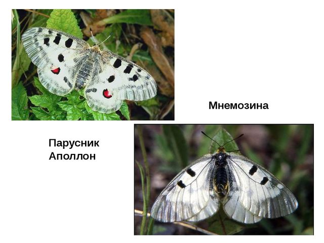 ПарусникАполлон Мнемозина