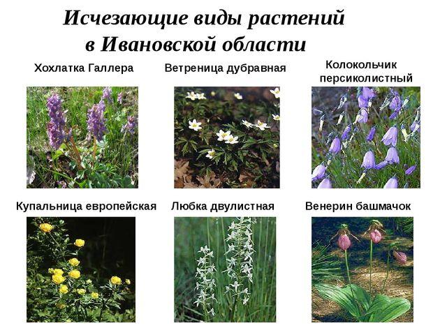 Исчезающие виды растений в Ивановской области Хохлатка Галлера Ветреница дуб...