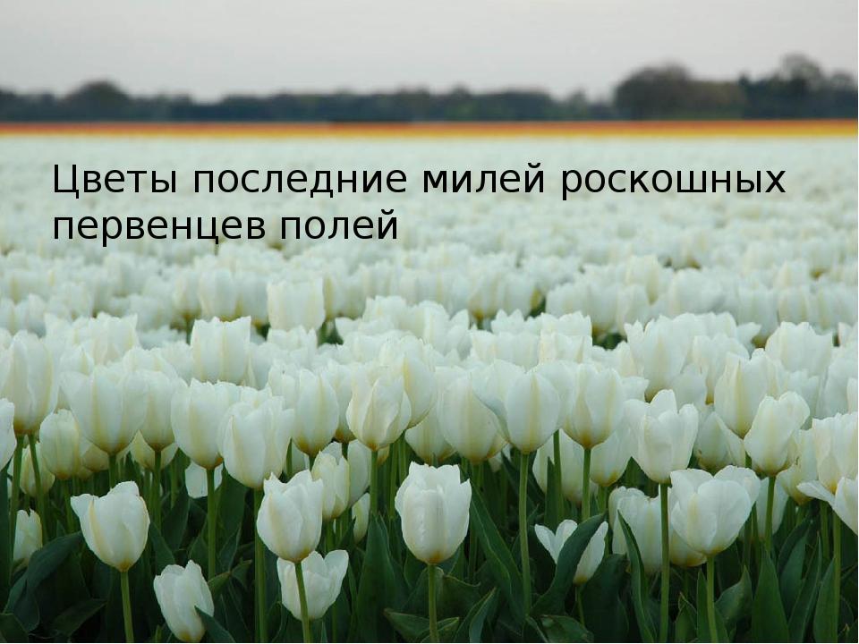 Цветы последние милей роскошных первенцев полей