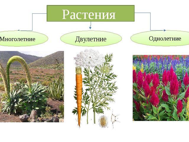 Растения Однолетние Многолетние Двулетние