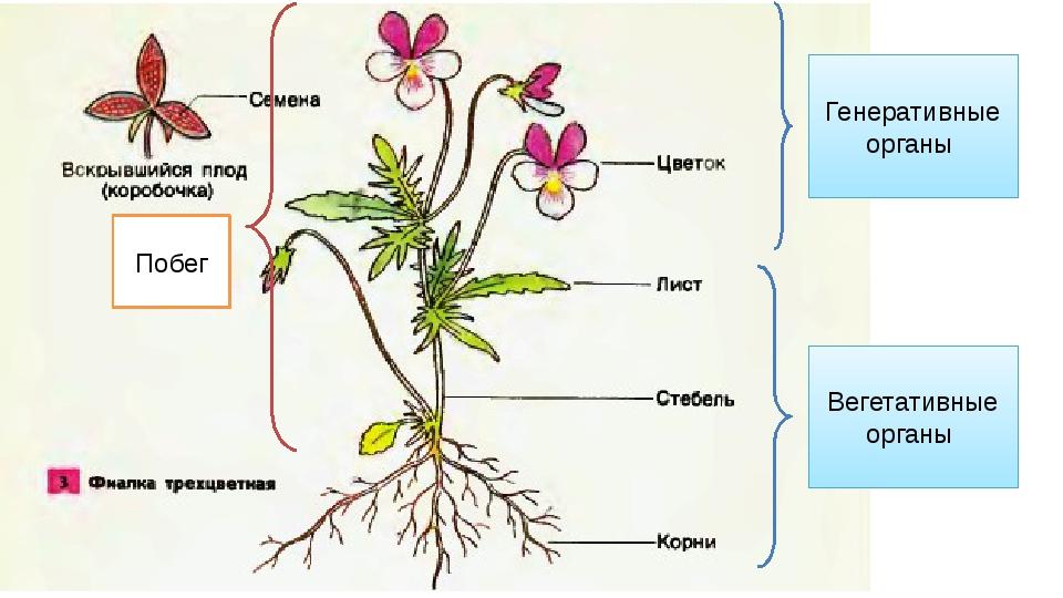 Генеративные органы Вегетативные органы Побег