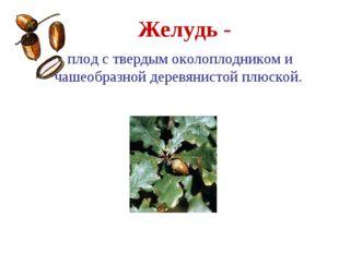 Желудь - Дуб плод с твердым околоплодником и чашеобразной деревянистой плюской.