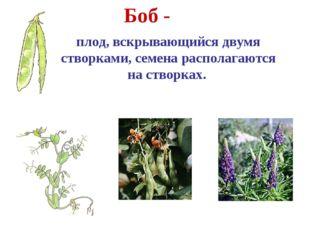 Боб - плод, вскрывающийся двумя створками, семена располагаются на створках.