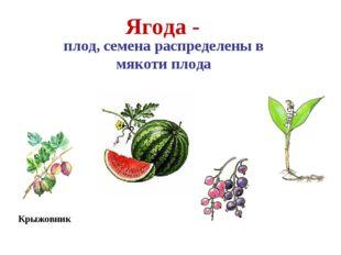 Арбуз Крыжовник Ягода - плод, семена распределены в мякоти плода Смородина Ла