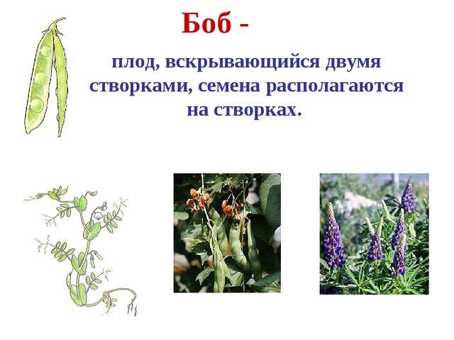 Боб - плод, вскрывающийся двумя створками, семена располагаются на створках....