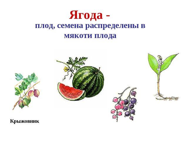 Арбуз Крыжовник Ягода - плод, семена распределены в мякоти плода Смородина Ла...