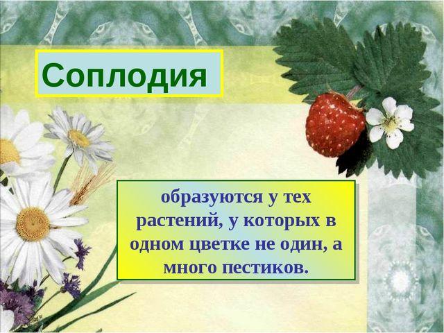 Соплодия образуются у тех растений, у которых в одном цветке не один, а много...